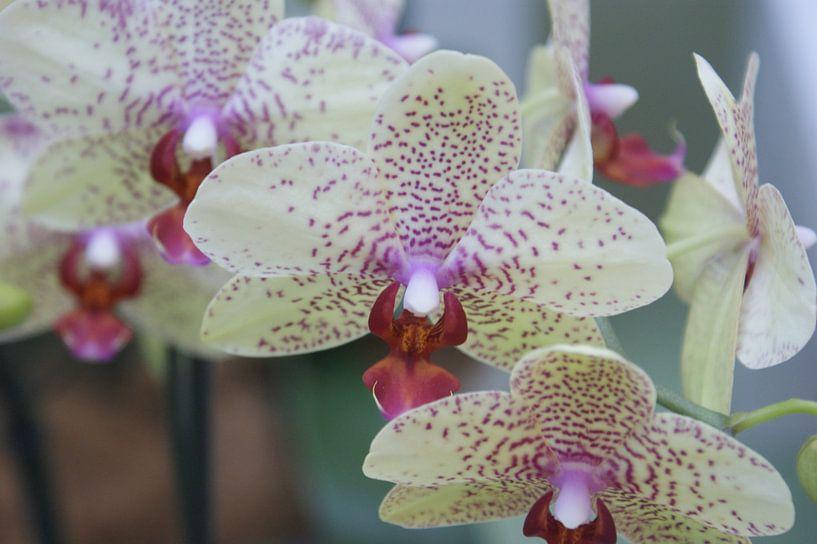 Orchide van Paul Hinskens