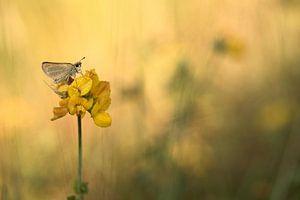 Vlinder op rolklaver
