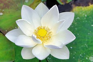 Heilige Lotus/Indische Lotus