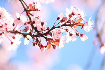Roze bloesem, lente, voorjaar von Wilma Meurs