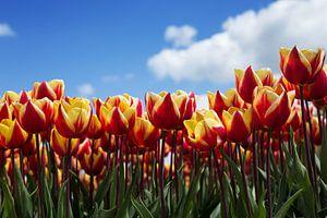 Hollands tulpenveld