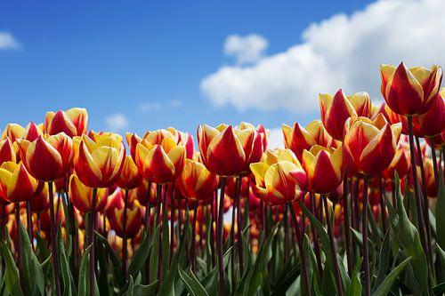 Hollands tulpenveld van