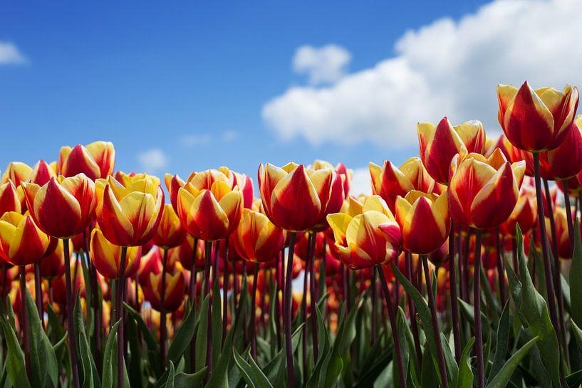 Hollands tulpenveld van Saskia Bon