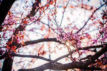 roze bloesem tegen blauwe lucht achtergrond van Margriet Hulsker