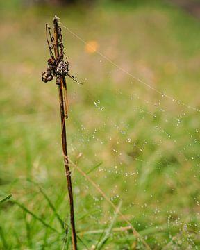 Kruisspin wachtend op prooi in web met dauwdruppels