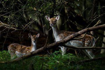 Mutter Damhirsch mit ihren Jungen von bryan van willigen