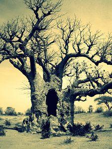 baobab van joost vandepapeliere