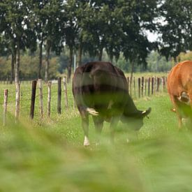 Een rode en zwarte koe in een zomerse wei van Marijke van Eijkeren