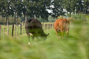 Een rode en zwarte koe in een zomerse wei van