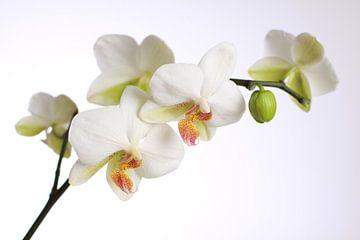 witte orchidee van Karina Baumgart