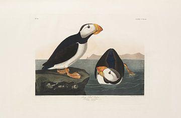Grootbekpapegaaiduiker - Teylers Edition -  Birds of America, John James Audubon van Teylers Museum