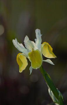 Gelber Frühlingsblüher, zarte Blume von Anke Winters