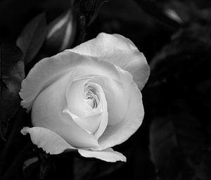 Witte roos in zwart-wit
