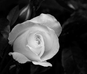 Witte roos in zwart-wit van hetty'sfotografie