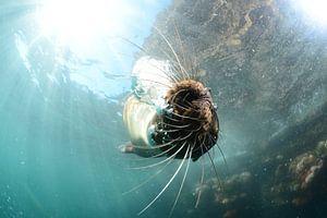 Zeeleeuw onder water