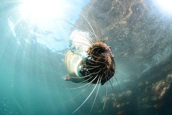 Zeeleeuw onder water van Jaap Voets