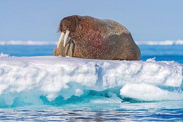 Walross ruht auf einer Eisscholle in Spitzbergen von Merijn Loch