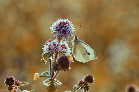 Witte vlinder op watermunt