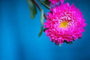 Roze bloem