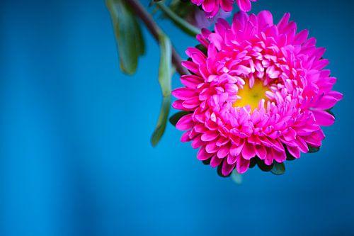 Roze bloem van