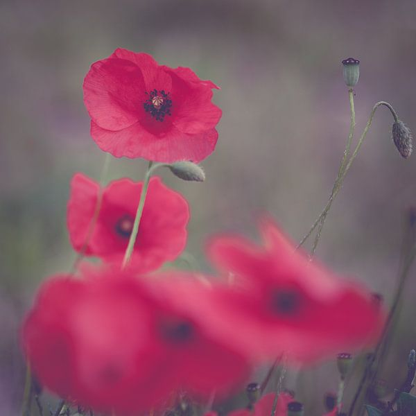 Klaproos Poppy van Foto NVS
