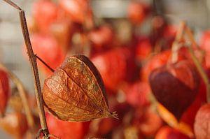 Lampionplant van Romuald van Velde
