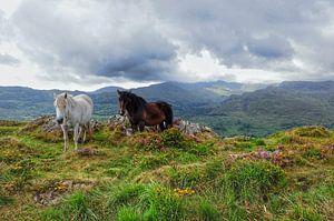 Twee paarden in Ierland. van