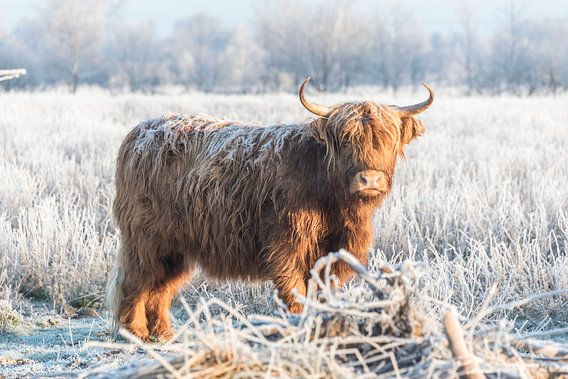 Schotse Hooglander in winterlandschap
