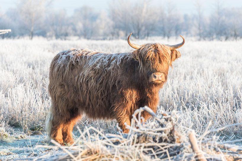 Schotse Hooglander in winterlandschap van Ans Bastiaanssen