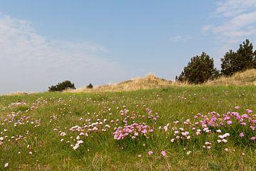 Engels gras kleurt het duinlandschap van Vlieland in het voorjaar roze