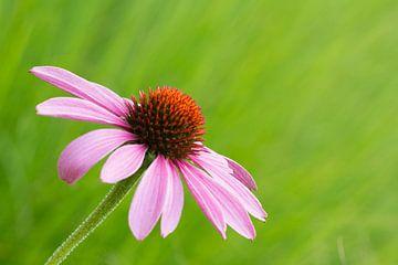 Eenzame roze  bloem van Cathy Php