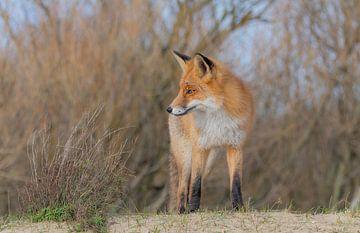 Fox von Anna Stelloo