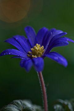 Anemone Der Frühling kommt von Lindy Schenk-Smit