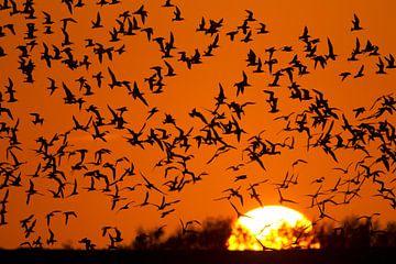 Grote Stern groep vliegend tijdens zonsondergang op Texel van Beschermingswerk voor aan uw muur