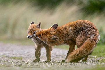 jeune renard faisant un travail de nettoyage sur bryan van willigen
