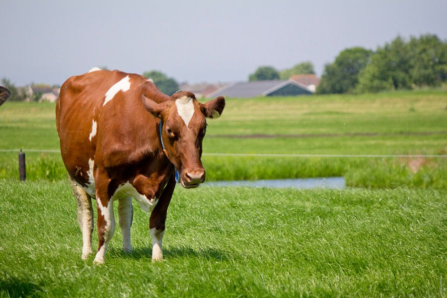 Even chillen... met koeien