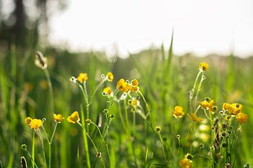 Gelb blühender Hahnenfuß auf der Blumenwiese im Sonnenlicht während der goldenen Stunde. von Evelien Doosje