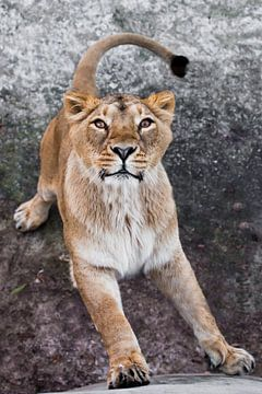 Raubtierhaftes Interesse einer Großkatze - Porträt der Schnauze einer neugierigen, schwungvollen Löw von Michael Semenov