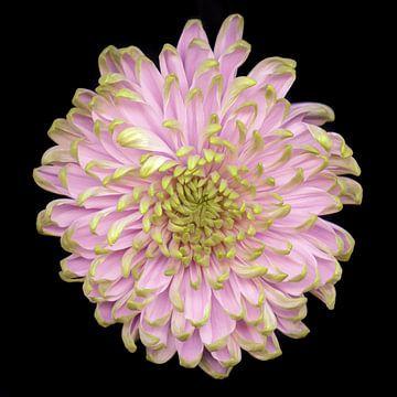 Blüte rosa-grün von Marian Waanders