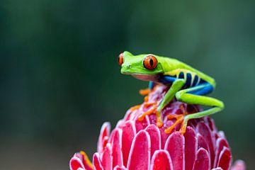 Roodoogmakikikker Costa Rica van Sylfari Photography