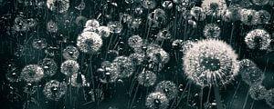 blowball dandelion black and white van Dörte Stiller