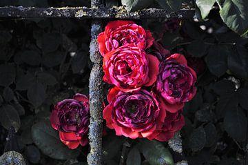 Rode rozen von Marije van der Vies