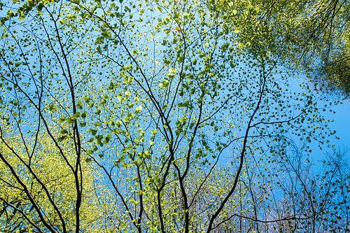 lente, lichtgroene blaadjes tegen een stralend blauwe lucht van Hanneke Luit