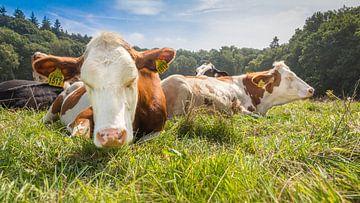 Bruin/wit gevlekte koeien relaxen in de zon van Michel Seelen