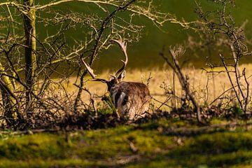 Hirsche in den Bäumen von Brian Morgan