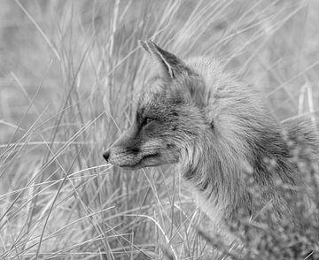 Fuchs in den Dünen schwarz / weiss von Marjolein van Middelkoop