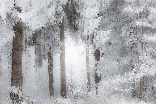Het bos bij Dwingeloo in een dikke laag sneeuw in de mist - Drenthe