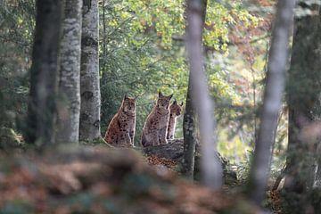 Lynx van Hans van Kleinwee