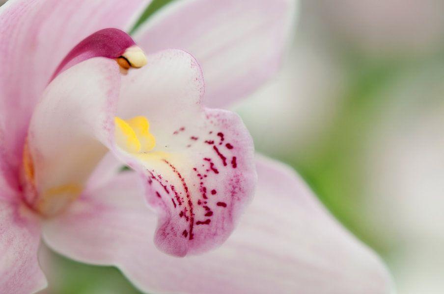 Lichtroze orchidee (Orchidaceae) van Tamara Witjes