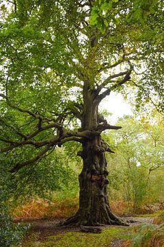Oude Beukenboom van Ingrid de Vos - Boom